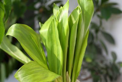 Leurda / Allium Ursinum / Usturoiul Ursului / Usturoi salbatic